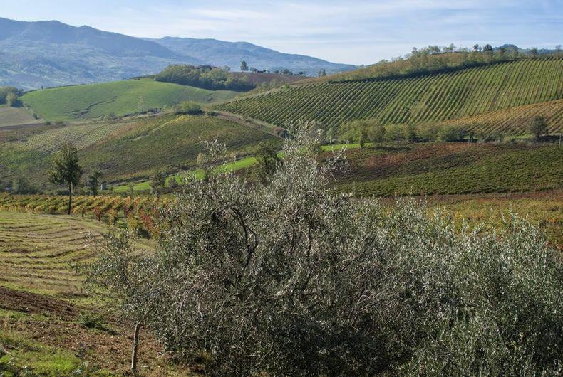 ulivo che si proietta sui campi coltivati a vite della cantina valtidone