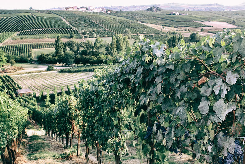 le viti viste da vicino appena prima della vendemmia