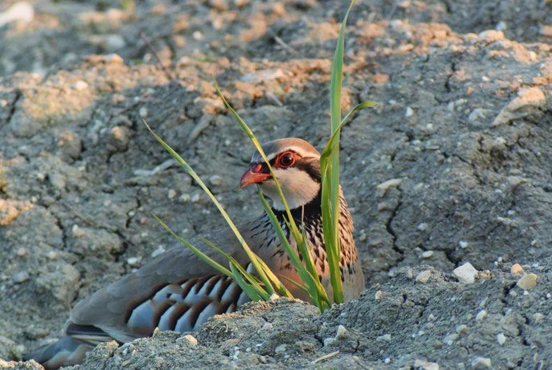 scatto uccello da vicino nei campi della val tidone